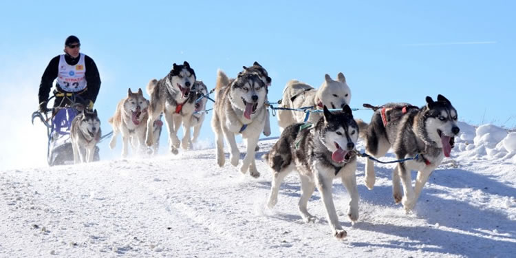 Sled Dog in Calabria